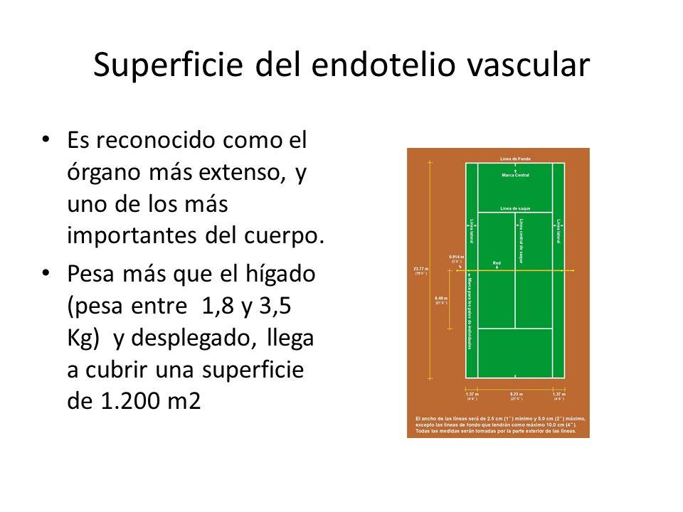 Superficie del endotelio vascular Es reconocido como el órgano más extenso, y uno de los más importantes del cuerpo. Pesa más que el hígado (pesa entr