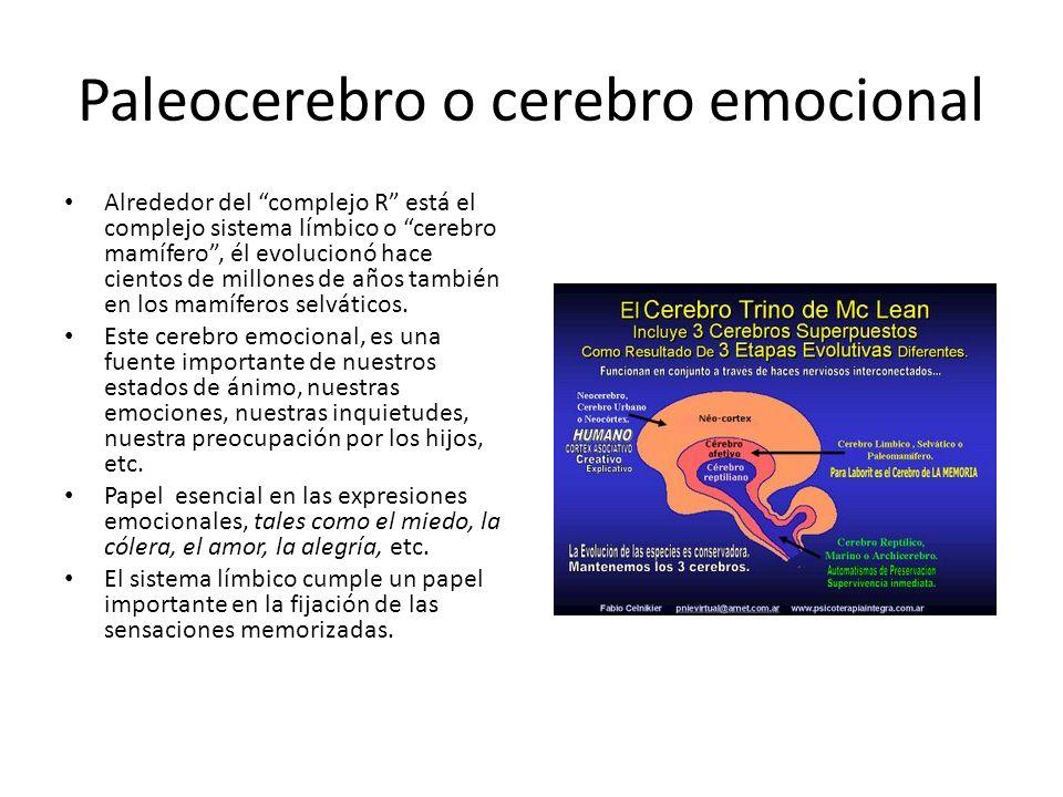 Paleocerebro o cerebro emocional Alrededor del complejo R está el complejo sistema límbico o cerebro mamífero, él evolucionó hace cientos de millones