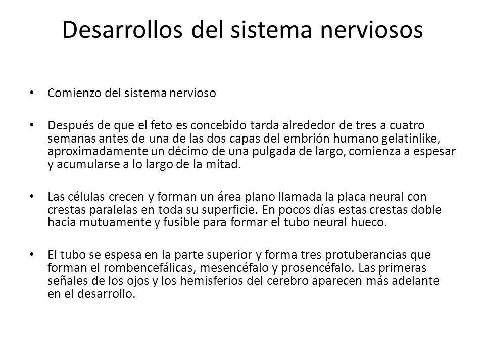 Desarrollos del sistema nerviosos Comienzo del sistema nervioso Después de que el feto es concebido tarda alrededor de tres a cuatro semanas antes de