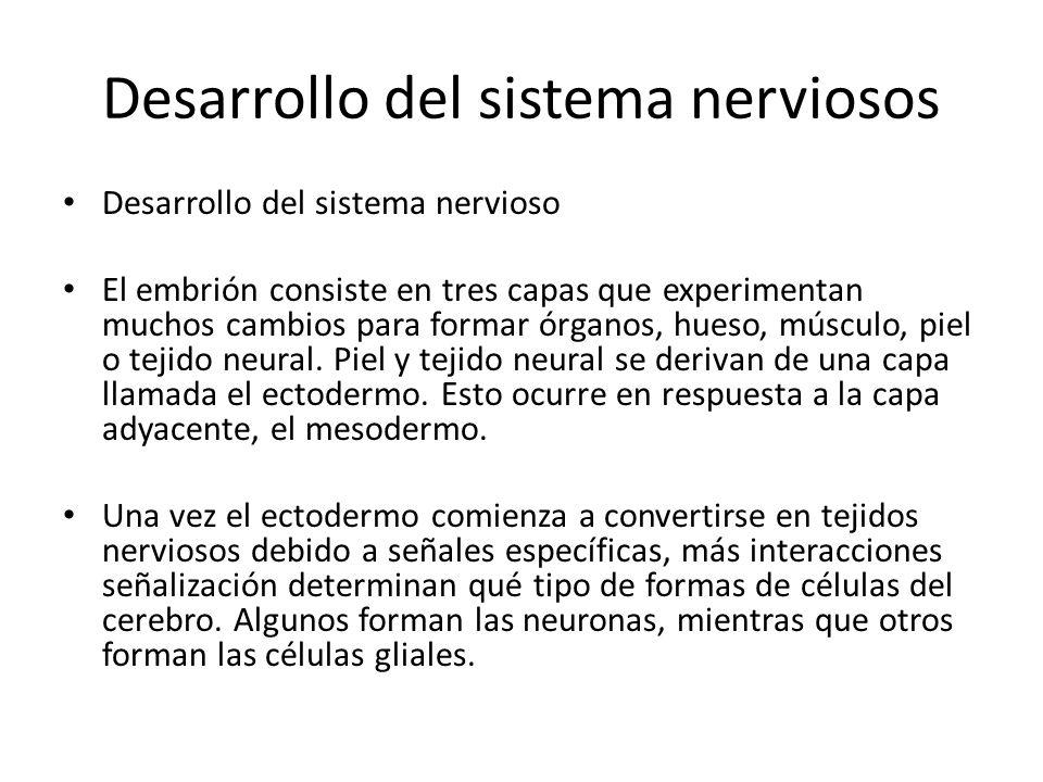 Desarrollo del sistema nerviosos Desarrollo del sistema nervioso El embrión consiste en tres capas que experimentan muchos cambios para formar órganos, hueso, músculo, piel o tejido neural.