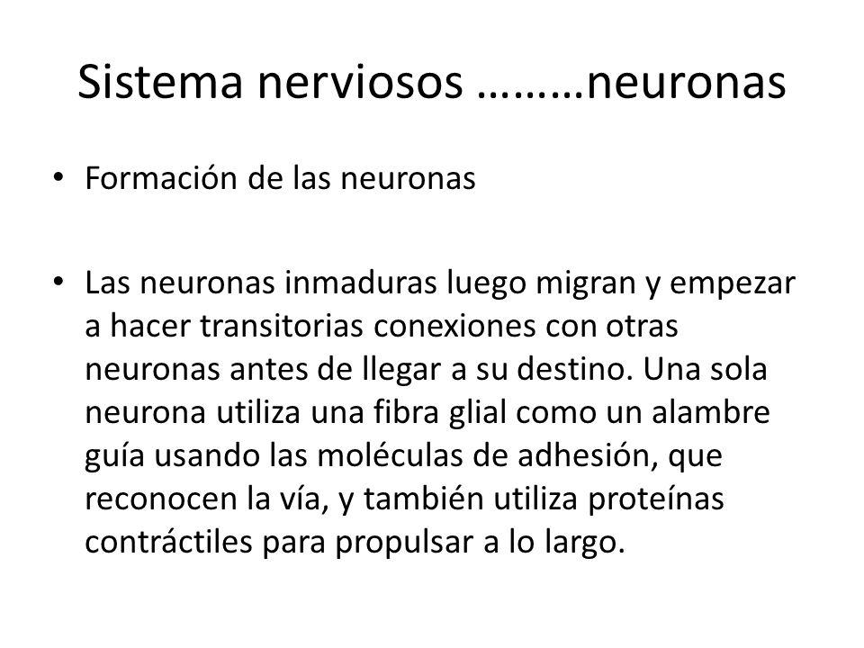 Sistema nerviosos ………neuronas Formación de las neuronas Las neuronas inmaduras luego migran y empezar a hacer transitorias conexiones con otras neuron