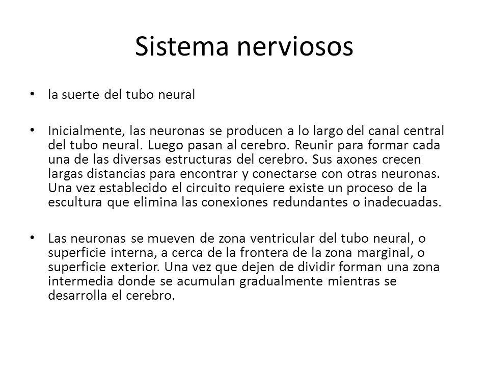 Sistema nerviosos la suerte del tubo neural Inicialmente, las neuronas se producen a lo largo del canal central del tubo neural. Luego pasan al cerebr