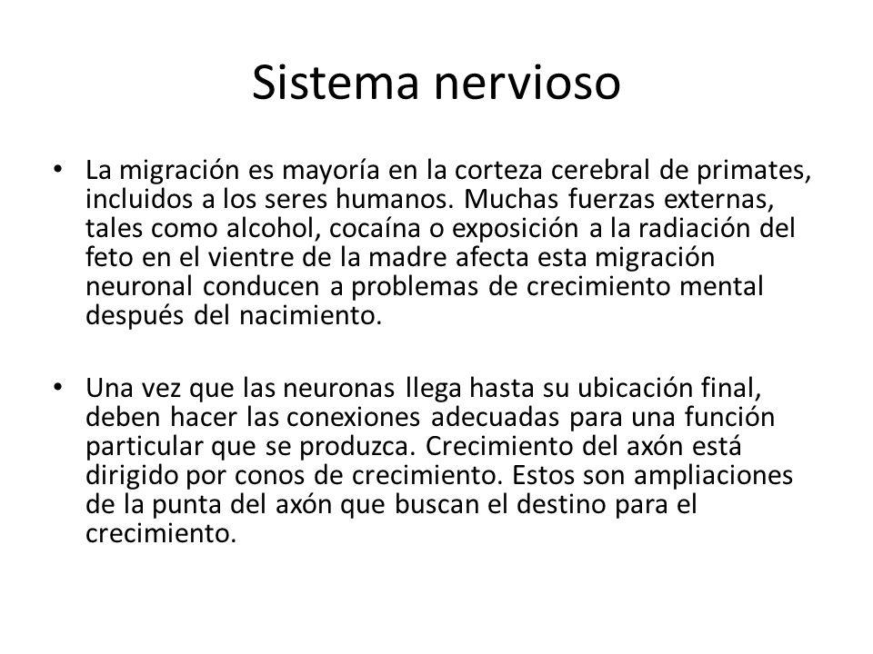 Sistema nervioso La migración es mayoría en la corteza cerebral de primates, incluidos a los seres humanos. Muchas fuerzas externas, tales como alcoho