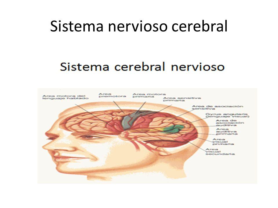 Sistema nervioso cerebral
