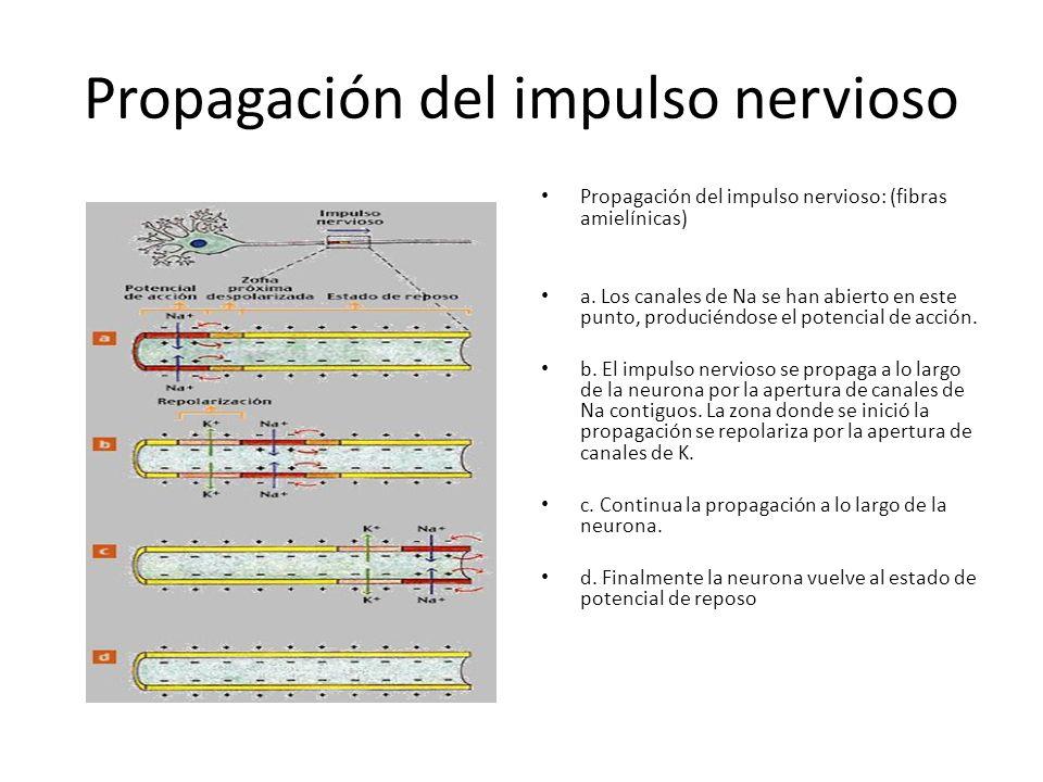 Propagación del impulso nervioso Propagación del impulso nervioso: (fibras amielínicas) a. Los canales de Na se han abierto en este punto, produciéndo