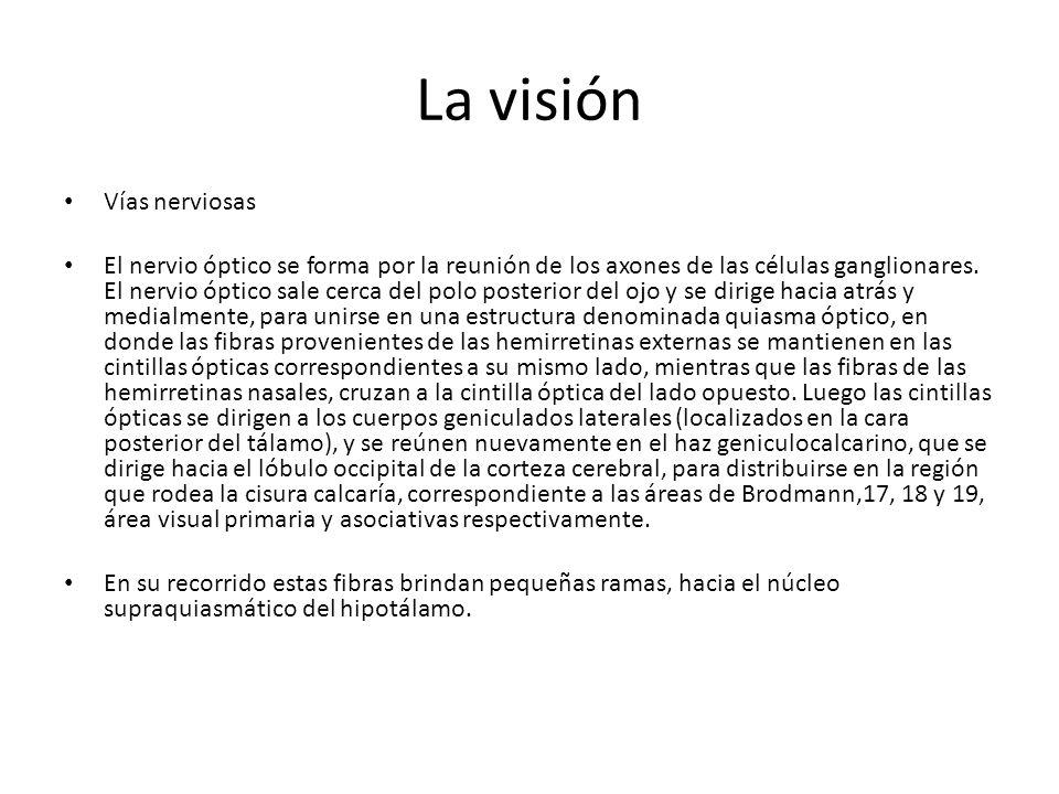 La visión Vías nerviosas El nervio óptico se forma por la reunión de los axones de las células ganglionares.