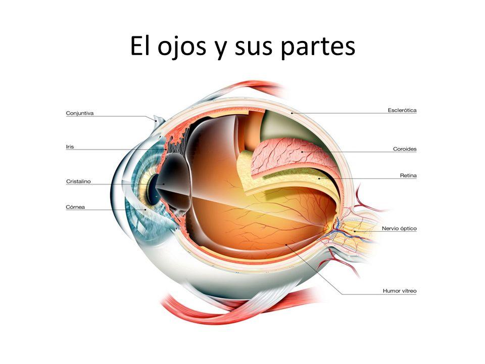 El ojos y sus partes