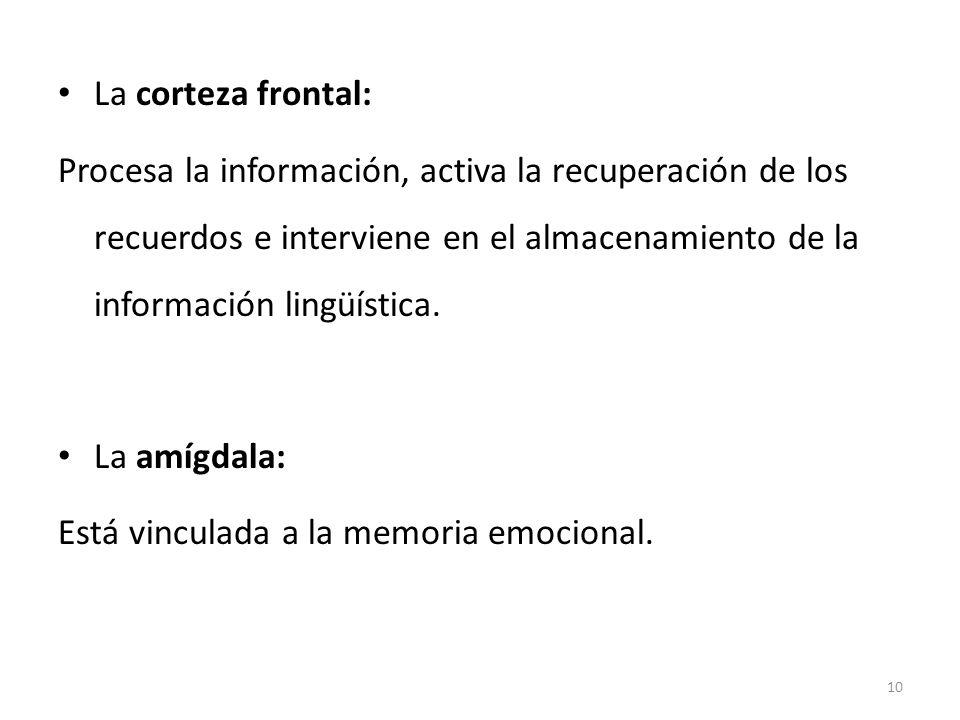La corteza frontal: Procesa la información, activa la recuperación de los recuerdos e interviene en el almacenamiento de la información lingüística. L