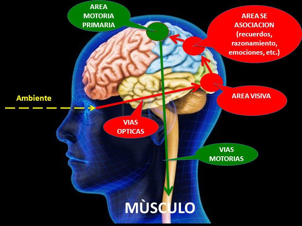 Ambiente MÙSCULO AREA MOTORIA PRIMARIA VIAS OPTICAS AREA VISIVA AREA SE ASOCIACION (recuerdos, razonamiento, emociones, etc.) AREA SE ASOCIACION (recu