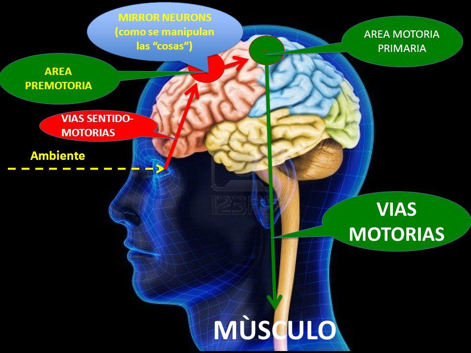 Ambiente MÙSCULO MIRROR NEURONS (como se manipulan las cosas) MIRROR NEURONS (como se manipulan las cosas) VIAS SENTIDO- MOTORIAS AREA PREMOTORIA AREA
