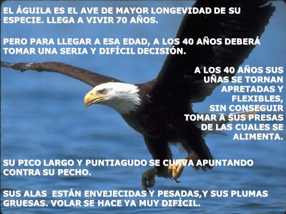 EL ÁGUILA ES EL AVE DE MAYOR LONGEVIDAD DE SU ESPECIE. LLEGA A VIVIR 70 AÑOS. SUS ALAS ESTÁN ENVEJECIDAS Y PESADAS,Y SUS PLUMAS GRUESAS. VOLAR SE HACE