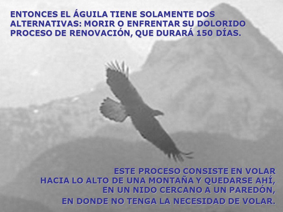 DESPUÉS, AL ENCONTRARSE EN EL LUGAR, EL ÁGUILA COMIENZA A GOLPEAR SU PICO CONTRA LA PARED HASTA CONSEGUIR ARRANCARLO.