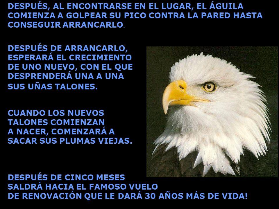 DESPUÉS, AL ENCONTRARSE EN EL LUGAR, EL ÁGUILA COMIENZA A GOLPEAR SU PICO CONTRA LA PARED HASTA CONSEGUIR ARRANCARLO. CUANDO LOS NUEVOS TALONES COMIEN