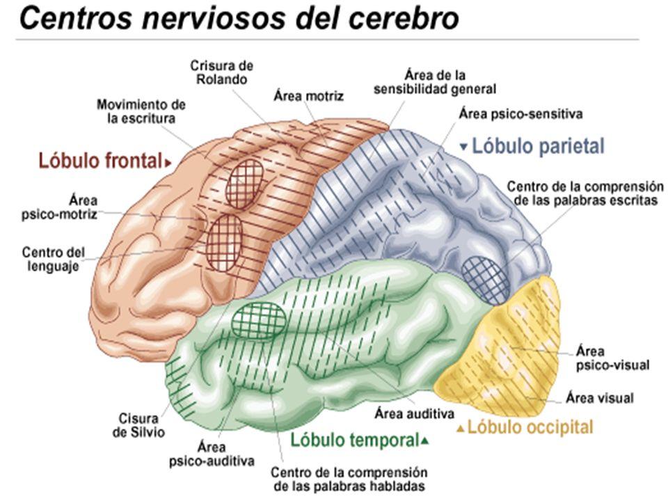 B. LA CORTEZA CEREBRAL DESCRIPCIÓN GENERAL Órgano maestro de nuestro cuerpo Aspecto de nuez Crecida: 2 hemisferios unidos pornuez Crecida el cuerpo ca