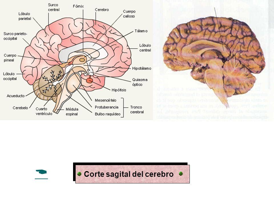 Especialización interhemisferica hemisferio izquierdo