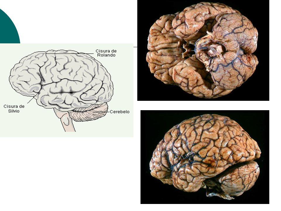 Corte sagital del cerebro