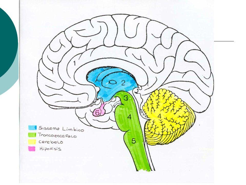 D. EL TRONCOENCEFALO Situado Situado por debajo del lóbulo occipital y prolongandose hacia la medula espinal. Esta compuesto de bulbo, protuberancia y