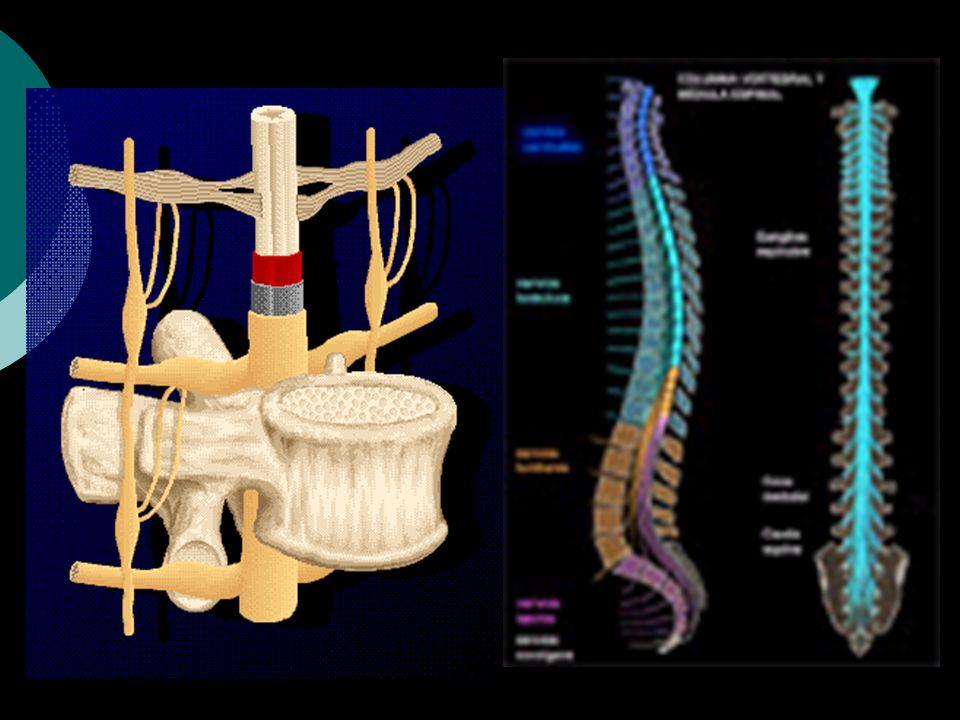 MEDULA ESPINAL Desde un punto de vista anatómico es una prolongación del cerebrovista anatómico ACTIVIDAD SUPRAESPINAL ACTIVIDAD REFLEJA Actúa como in