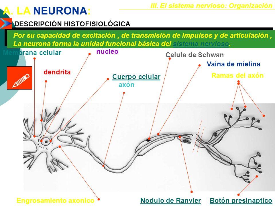 III.El sistema nervioso: Organización A.