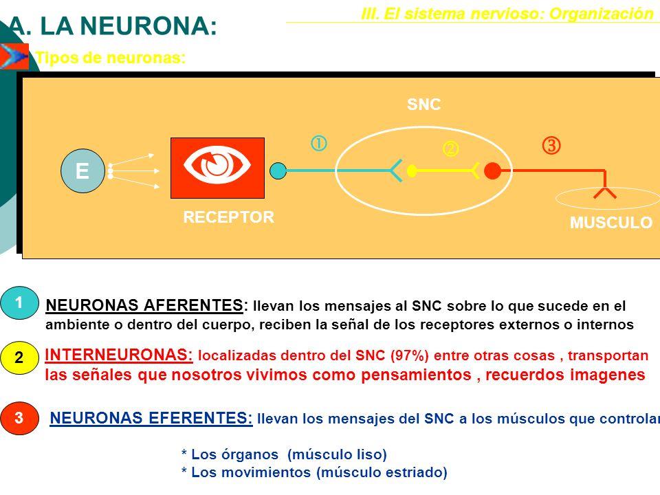 III. El sistema nervioso: Organización A. LA NEURONA: DESCRIPCIÓN HISTOFISIOLÓGICA Por su capacidad de excitación, de transmisión de impulsos y de art