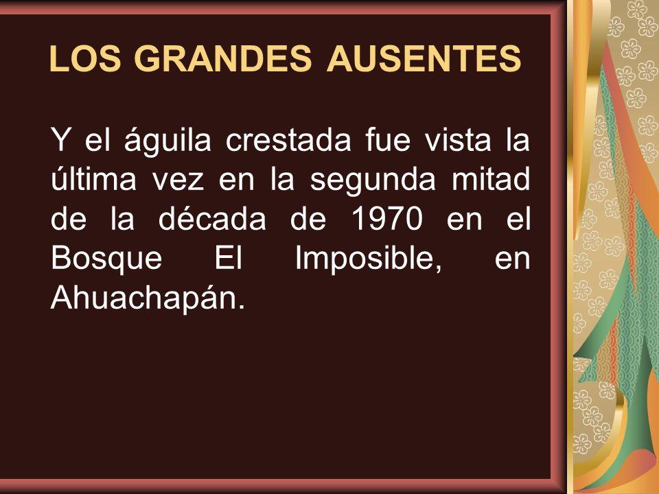 Y el águila crestada fue vista la última vez en la segunda mitad de la década de 1970 en el Bosque El Imposible, en Ahuachapán. LOS GRANDES AUSENTES