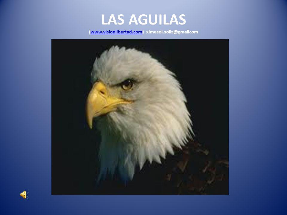 Cuando las águilas envejecen, su pico es largo y puntiagudo, se curva apuntando contra el pecho, sus alas están envejecidas y pesadas y sus plumas gruesas.