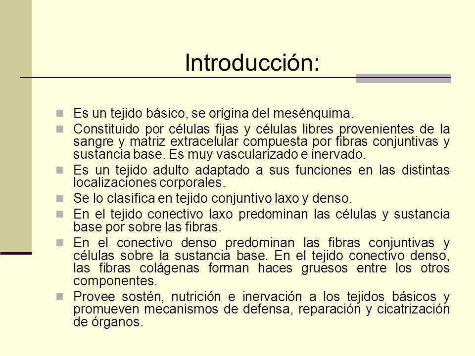 Introducción: Es un tejido básico, se origina del mesénquima. Constituido por células fijas y células libres provenientes de la sangre y matriz extrac