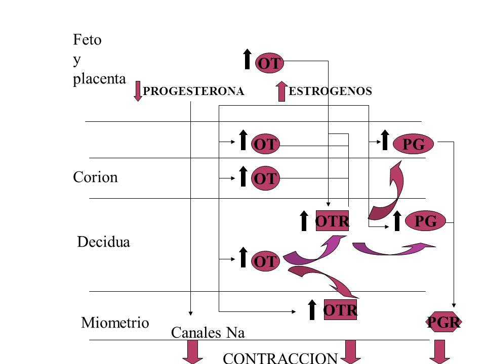 OT OTR PG PGR OT PROGESTERONAESTROGENOS Feto y placenta Corion Decidua Miometrio Canales Na CONTRACCION