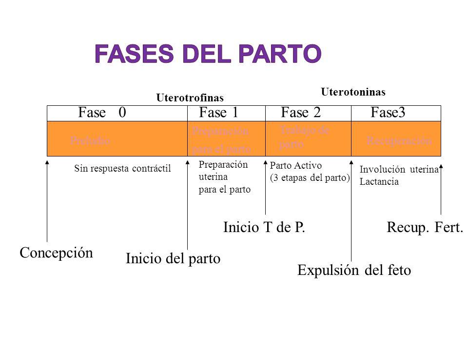 Fase 0Fase 1Fase 2Fase3 Inicio del parto Inicio T de P. Expulsión del feto Recup. Fert. Preludio Preparación para el parto Trabajo de parto Recuperaci