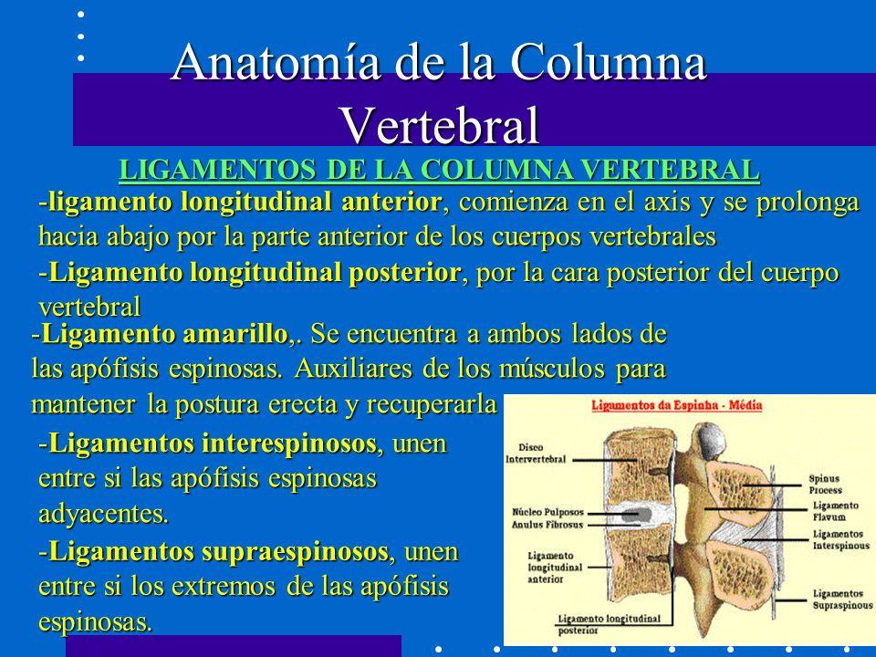 LIGAMENTOS DE LA COLUMNA VERTEBRAL -ligamento longitudinal anterior, comienza en el axis y se prolonga hacia abajo por la parte anterior de los cuerpos vertebrales Anatomía de la Columna Vertebral -Ligamento longitudinal posterior, por la cara posterior del cuerpo vertebral -Ligamento amarillo,.