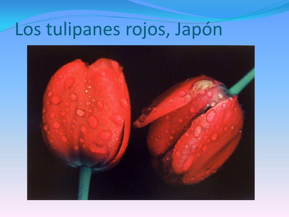 Los tulipanes rojos, Japón