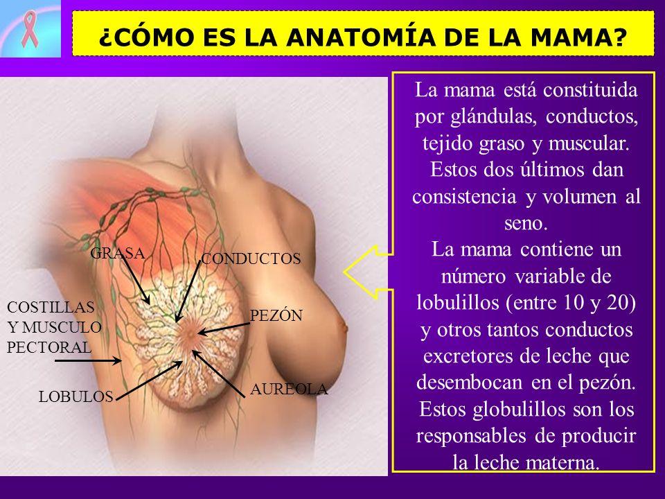 ¿CÓMO ES LA ANATOMÍA DE LA MAMA? PEZÓN AUREOLA GRASA LOBULOS CONDUCTOS COSTILLAS Y MUSCULO PECTORAL La mama está constituida por glándulas, conductos,