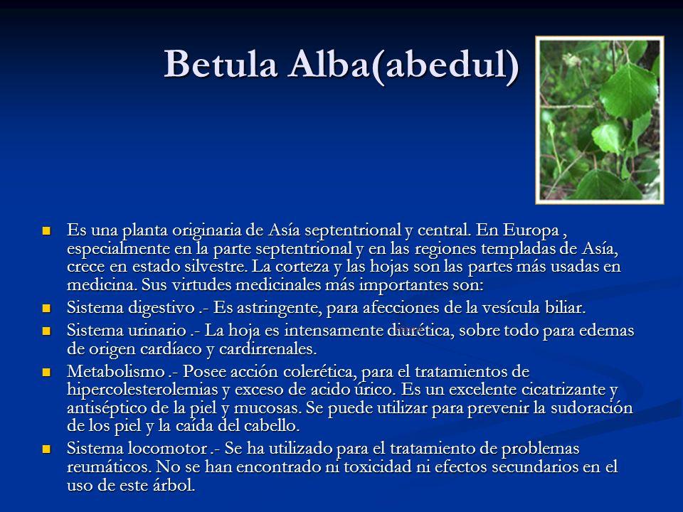 Betula Alba(abedul) Es una planta originaria de Asía septentrional y central. En Europa, especialmente en la parte septentrional y en las regiones tem
