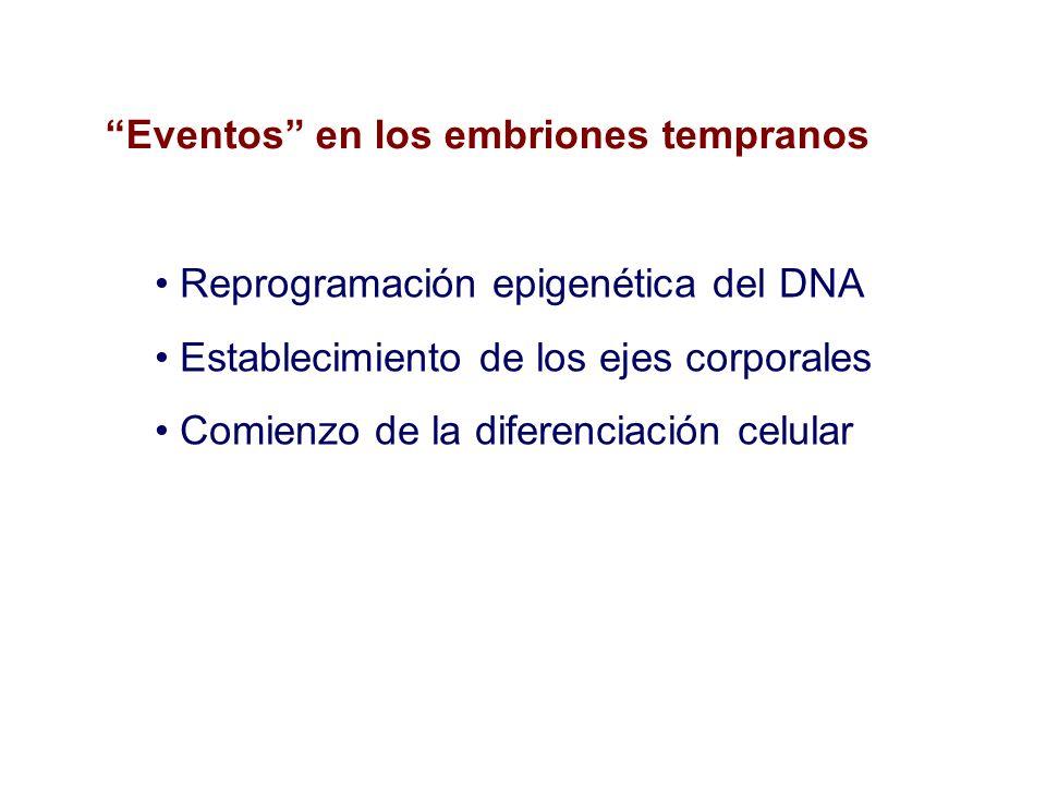 Reprogramación epigenética del DNA Establecimiento de los ejes corporales Comienzo de la diferenciación celular Eventos en los embriones tempranos