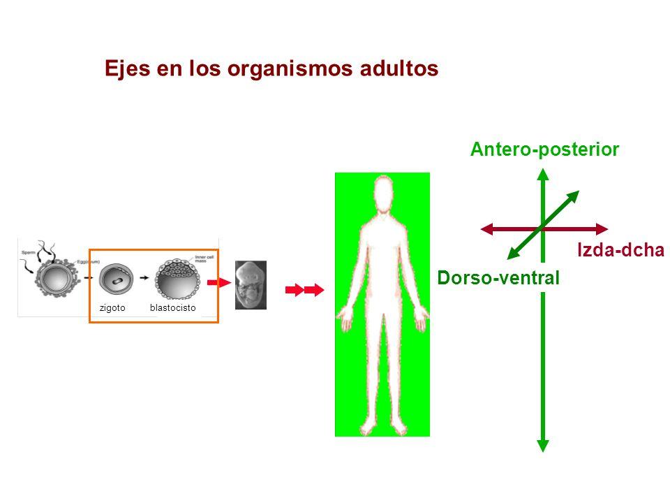 Ejes en los organismos adultos zigotoblastocisto Antero-posterior Izda-dcha Dorso-ventral