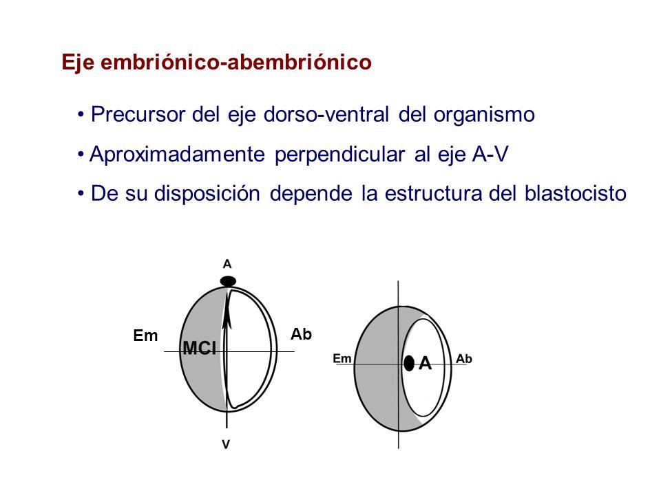 Eje embriónico-abembriónico Em Ab Precursor del eje dorso-ventral del organismo Aproximadamente perpendicular al eje A-V De su disposición depende la