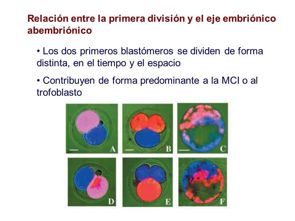 Relación entre la primera división y el eje embriónico abembriónico Los dos primeros blastómeros se dividen de forma distinta, en el tiempo y el espac