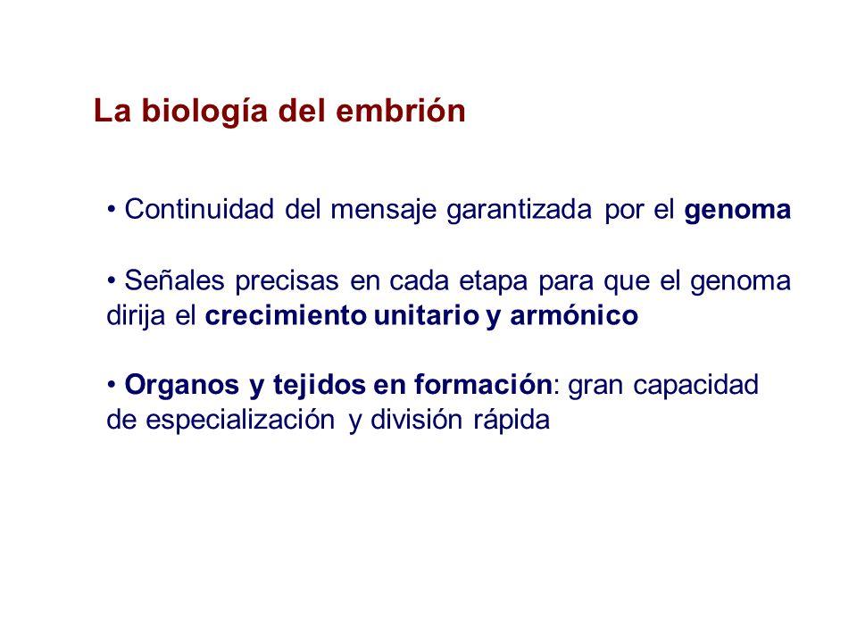 La biología del embrión Organos y tejidos en formación: gran capacidad de especialización y división rápida Continuidad del mensaje garantizada por el