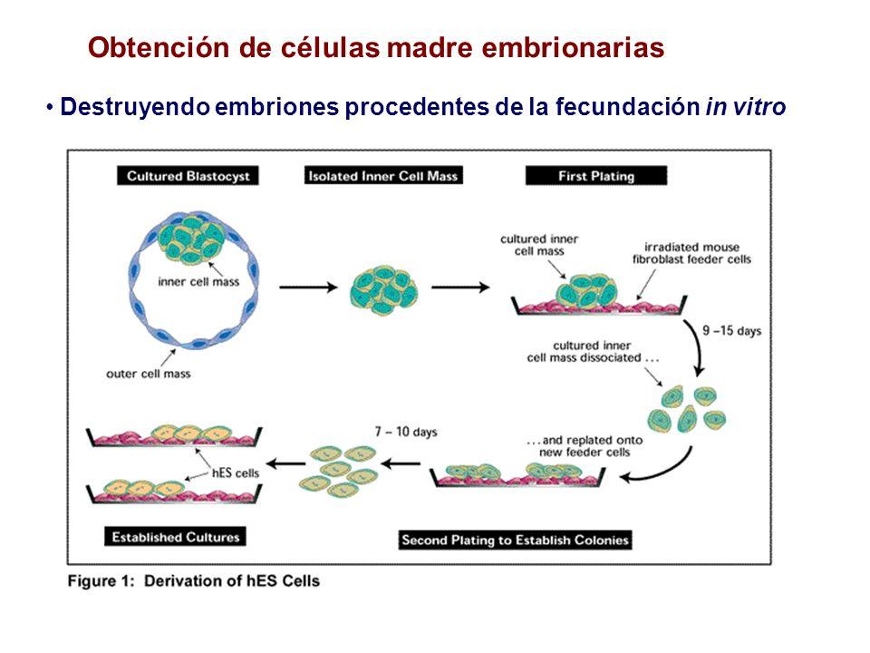 Obtención de células madre embrionarias Destruyendo embriones procedentes de la fecundación in vitro