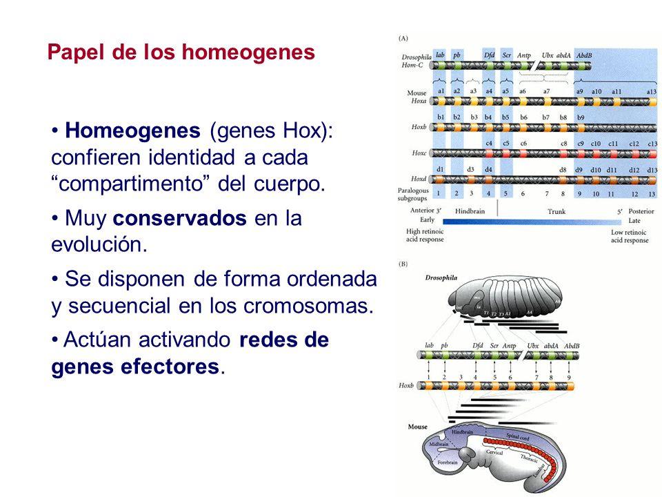 Homeogenes (genes Hox): confieren identidad a cada compartimento del cuerpo. Muy conservados en la evolución. Se disponen de forma ordenada y secuenci