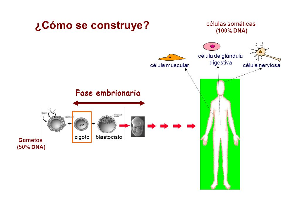 ¿Cómo se construye? célula muscular células somáticas (100% DNA) célula de glándula digestiva célula nerviosa zigoto Gametos (50% DNA) blastocisto Fas