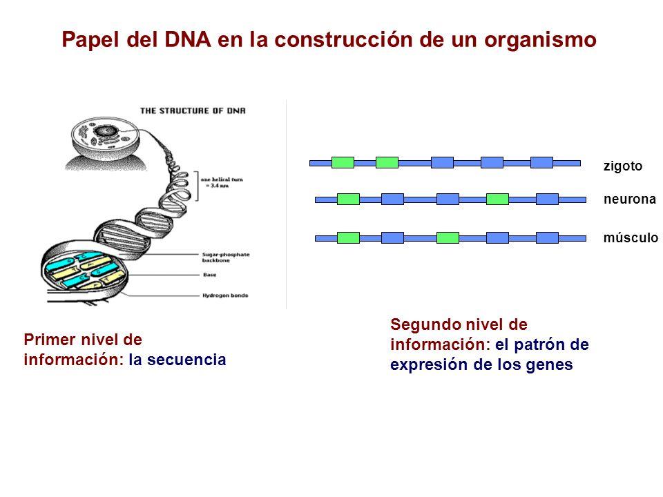 Papel del DNA en la construcción de un organismo Primer nivel de información: la secuencia Segundo nivel de información: el patrón de expresión de los