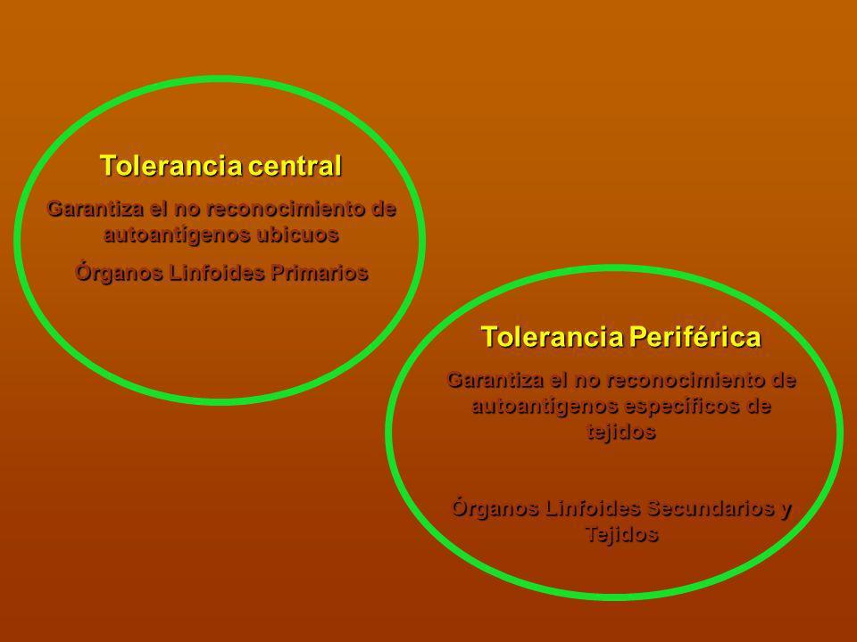 Tolerancia central Garantiza el no reconocimiento de autoantígenos ubicuos Órganos Linfoides Primarios Tolerancia Periférica Garantiza el no reconocim