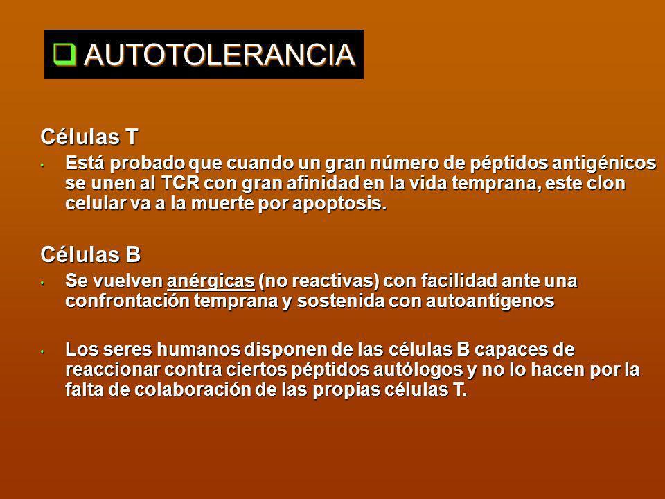 ARTRITIS REUMATOIDEA Es la más importante de las poliartritis mediadas por el sistema inmune Tiende a presentar evolución progresiva que lleva a la destrucción tisular y a la anquilosis Conforme avanza la artritis los linfocitos infiltrados forman nódulos linfoides y centros germinales dentro de la sinovia Ac anti Ig G (FR) Ac anticolágeno II Autoantígenos implicados en el proceso