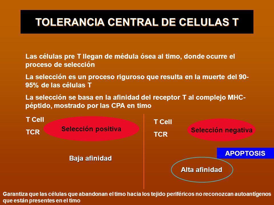 TOLERANCIA CENTRAL DE CELULAS T Las células pre T llegan de médula ósea al timo, donde ocurre el proceso de selección La selección es un proceso rigur