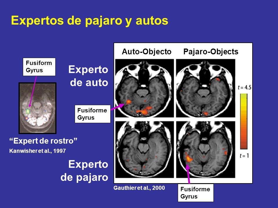 Expertos de pajaro y autos Expert de rostro Kanwisher et al., 1997 Fusiform Gyrus Fusiforme Gyrus Experto de auto Experto de pajaro Fusiforme Gyrus Ga