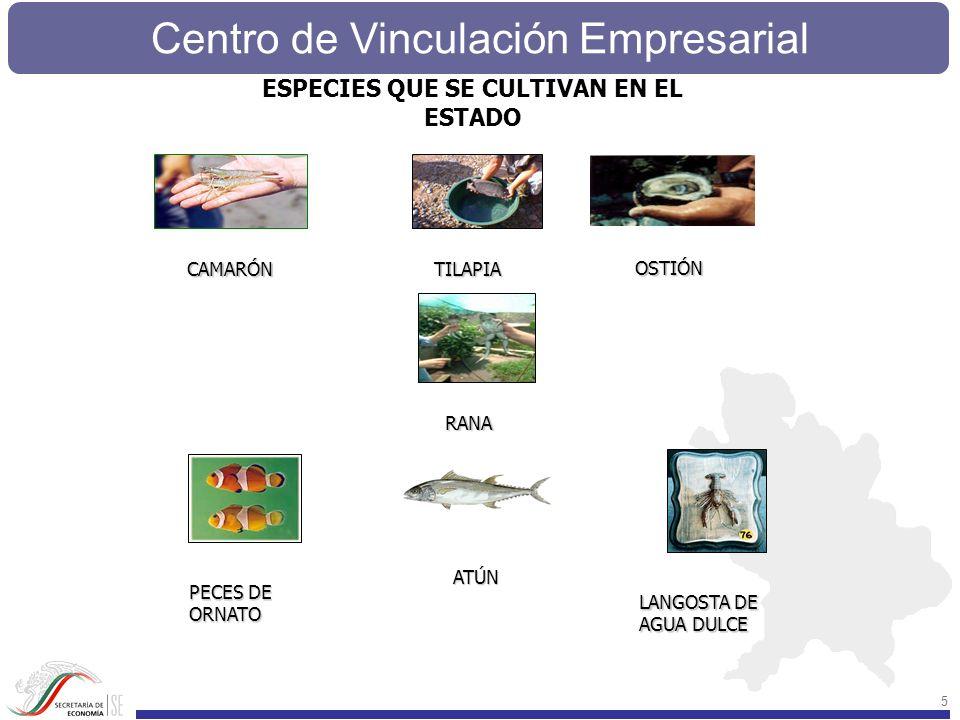 Centro de Vinculación Empresarial 5 PECES DE ORNATO TILAPIA RANA OSTIÓN CAMARÓN LANGOSTA DE AGUA DULCE ESPECIES QUE SE CULTIVAN EN EL ESTADOATÚN