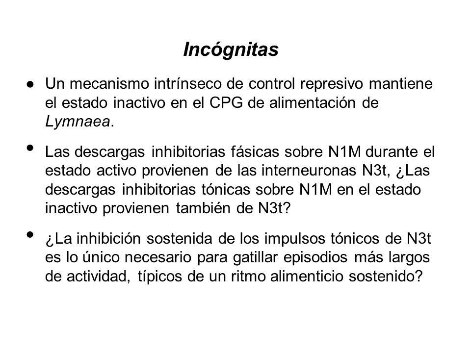 Incógnitas Un mecanismo intrínseco de control represivo mantiene el estado inactivo en el CPG de alimentación de Lymnaea. Las descargas inhibitorias f
