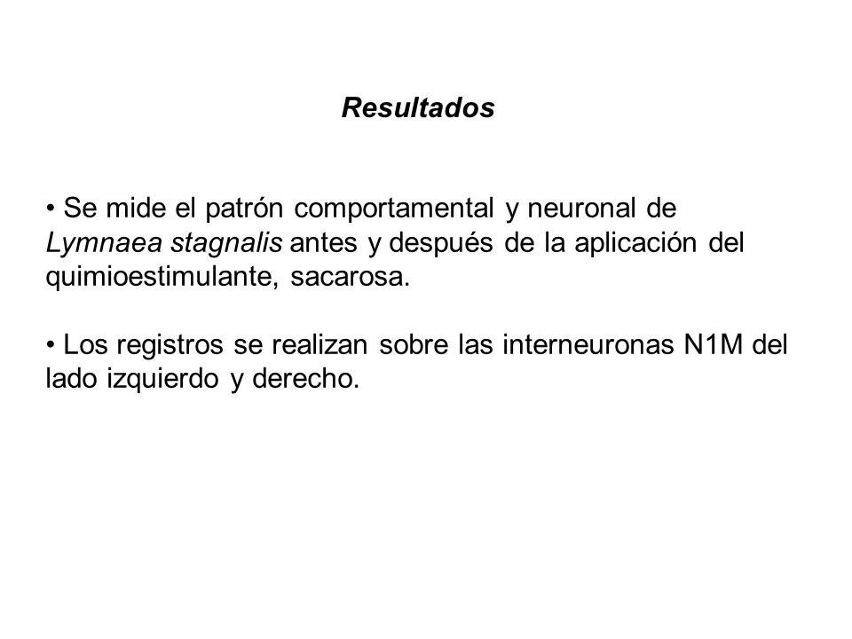 Resultados Se mide el patrón comportamental y neuronal de Lymnaea stagnalis antes y después de la aplicación del quimioestimulante, sacarosa. Los regi