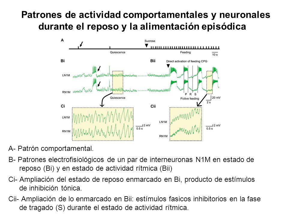 Patrones de actividad comportamentales y neuronales durante el reposo y la alimentación episódica A- Patrón comportamental. B- Patrones electrofisioló